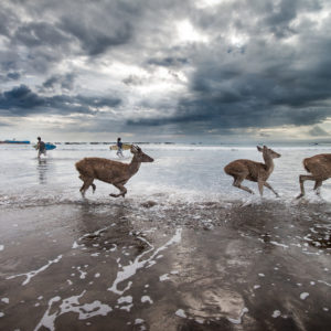 Java, Beach, deers, sea, André Alessio
